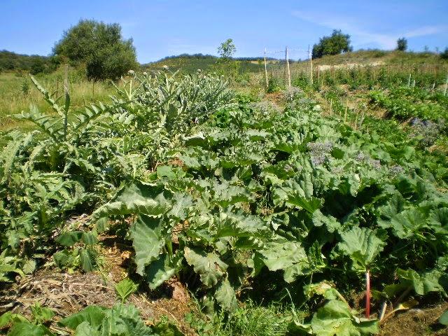 Tresors de campagne rhubarbe et culture sur buttes en permaculture for Culture sur butte permaculture