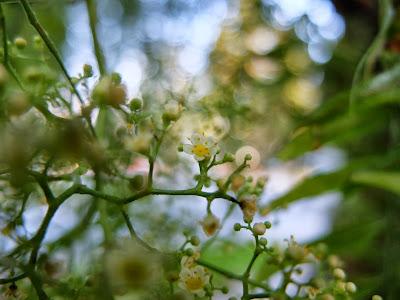 Schinus molle flowers