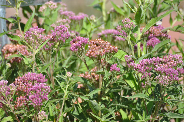 Purple Backyard Flowers : Mother Natures Backyard  A Waterwise Garden Plant of the Month