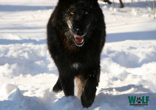 Eripe lupus read about usfws gray wolf delisting proposal gray wolf delisting proposal violates endangered species act publicscrutiny Images