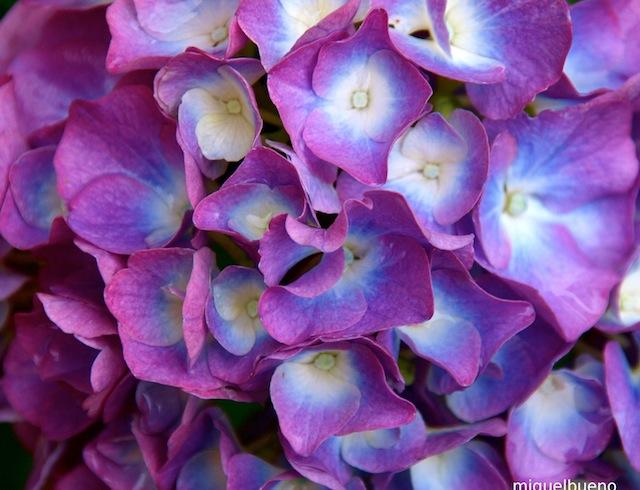 azules blancas rosas rojas celestes y moradas son las hortensias de pacanda van cambiando de color al albur de los das las blancas se tornan celestes
