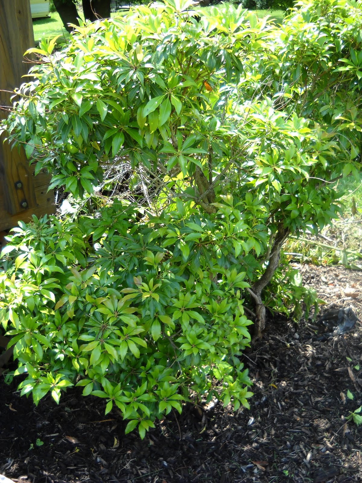 A diva 39 s garden can you identify this shrub for me for Landscape bush identification
