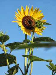 The Sunflower Garden. . .