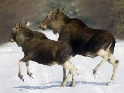 Rearing Moose