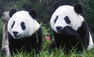 Oso Panda gigante en el bosque