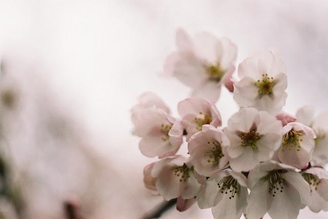 桜の花 その2 cherry blossoms