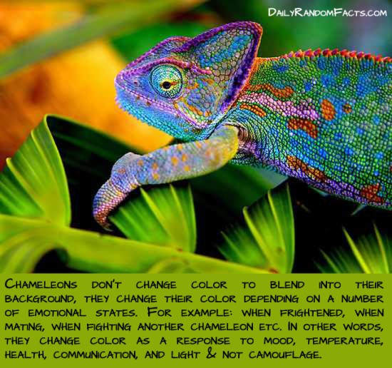 animal facts, facts about animals, interesting animal facts, chameleons fact