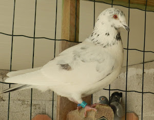 Este Pombo foi adquirido no leilão do Sr. José Luis R. Jacinto