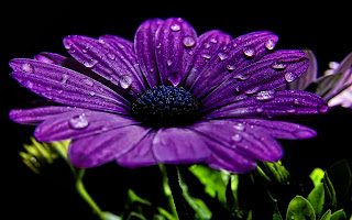 Flower Violet Petals Drops Macro HD Wallpaper