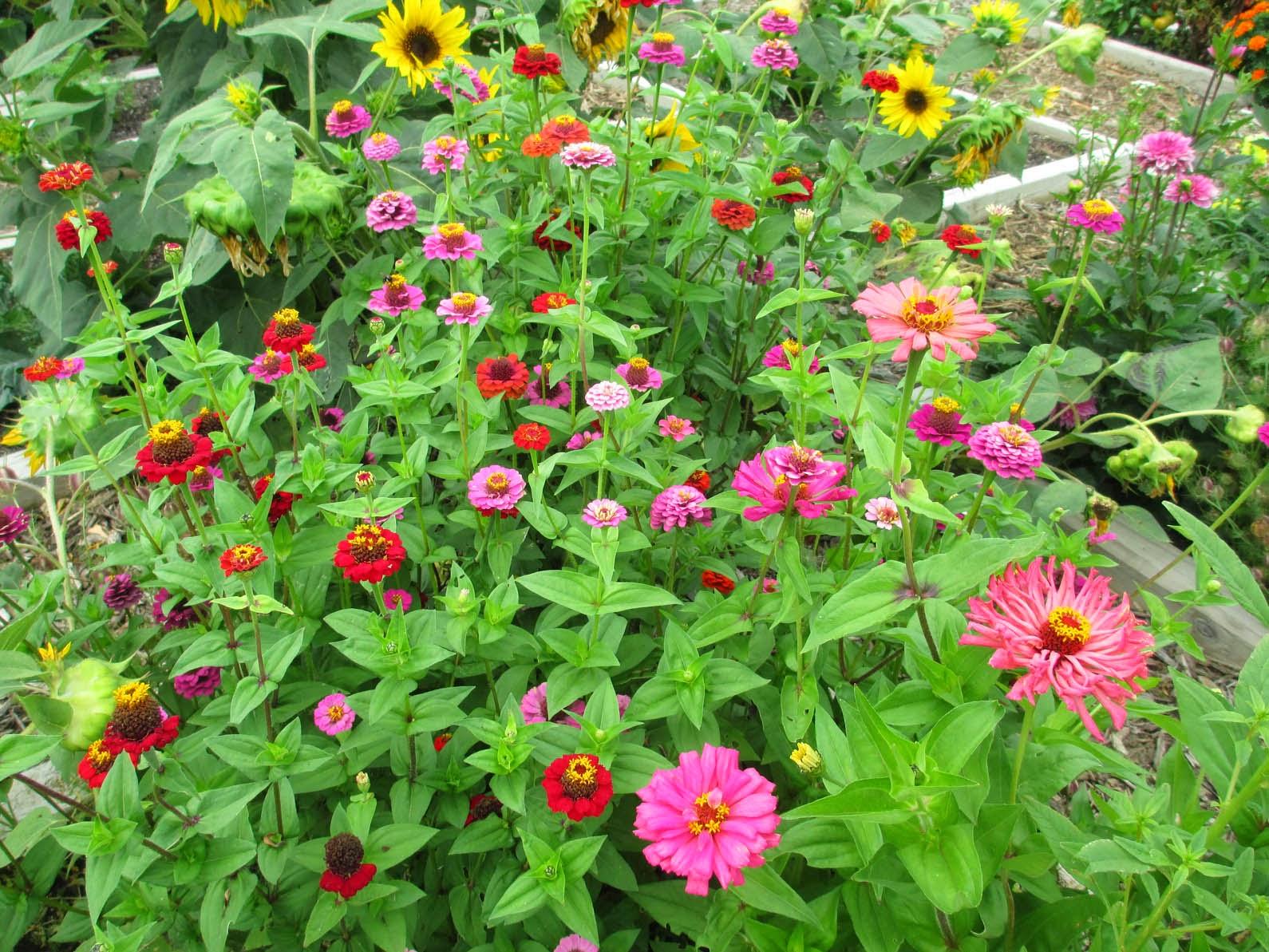 Garden fancy zinnia time for Garden designs the different types of gardens