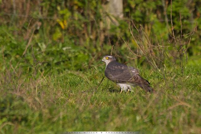 Sperwer - Sparrowhawk Accipiter nisus