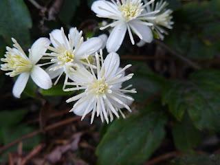 Autumn clematis (Clematis terniflora)