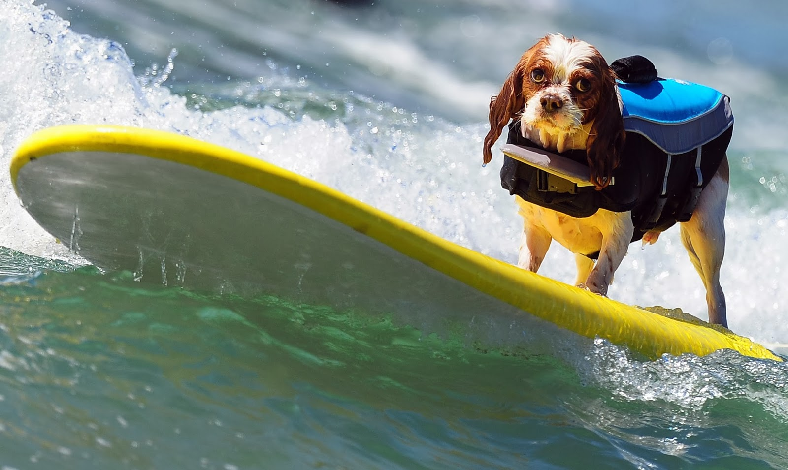 Annual Dog Surfing Competition HD Pictures