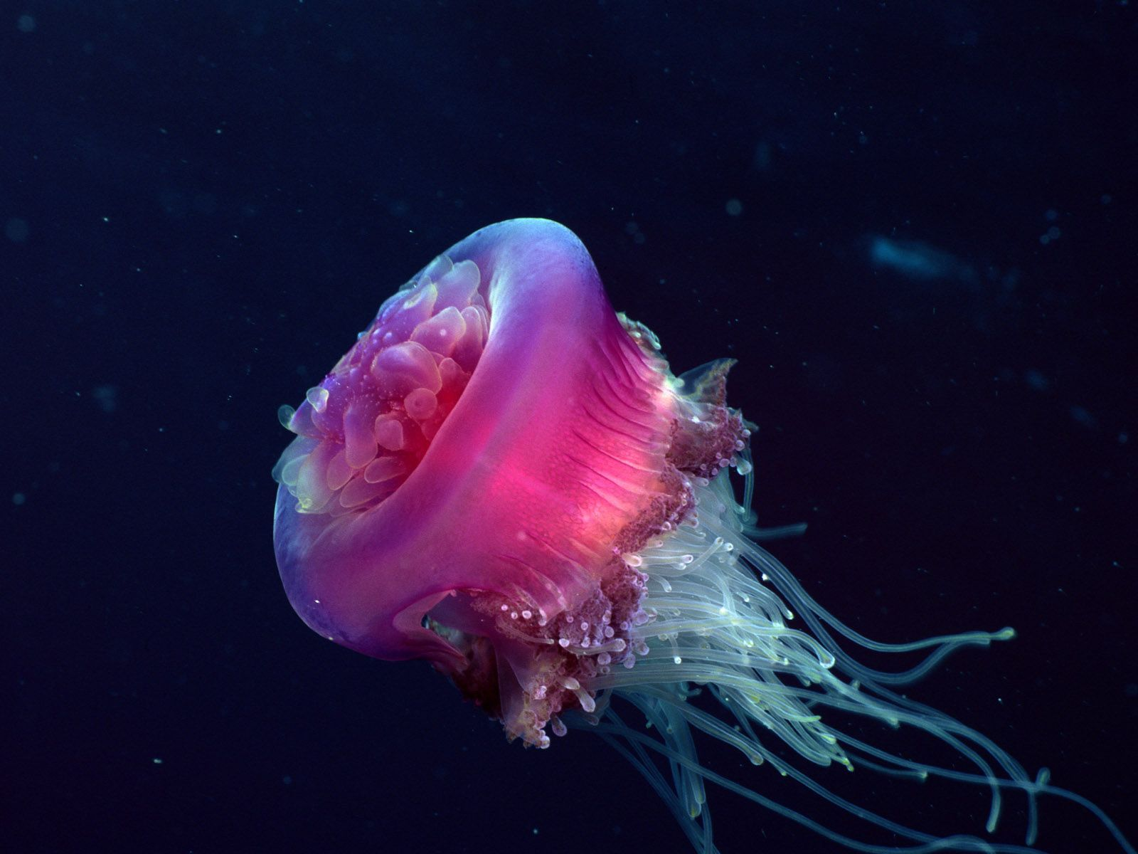 10 Most <b>Beautiful Jellyfish</b>.