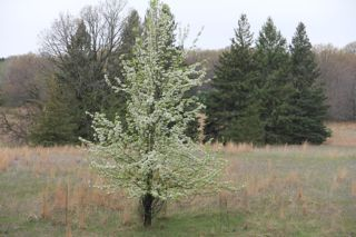 photo of blossoming pear tree