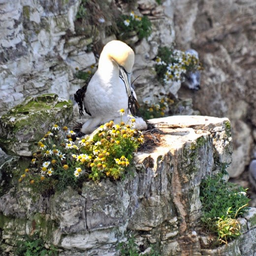 Adult Gannet arranges seaweed 'shawl'