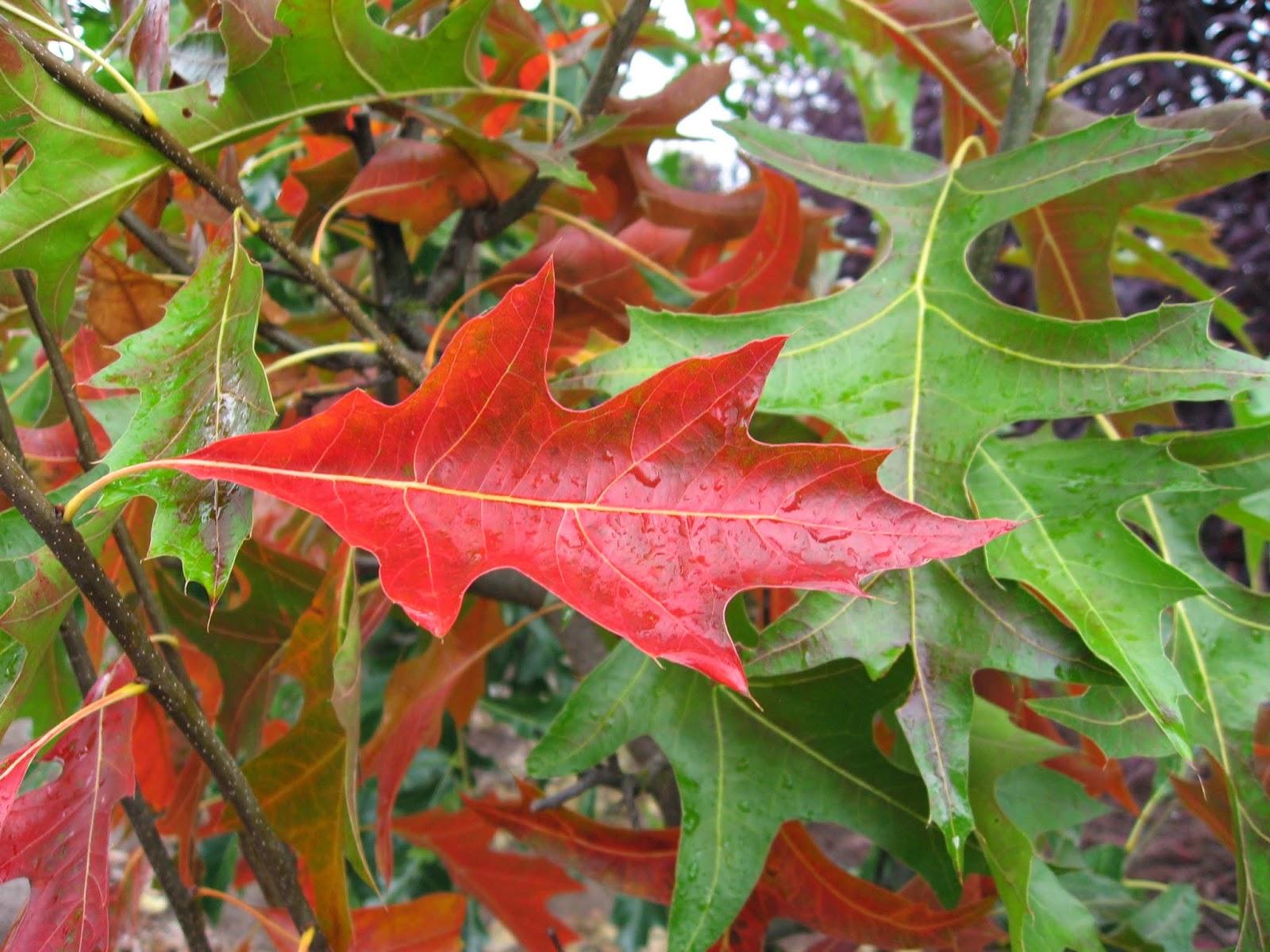 Trees Planet: Quercus palustris - Pin Oak
