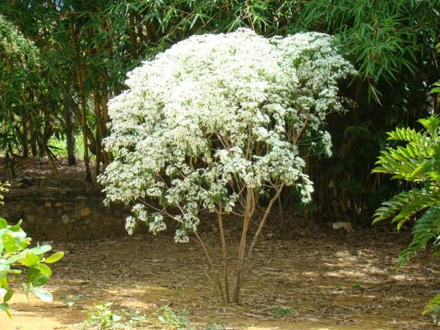 El jardinero plantas y flores euphorbia leucocephala - Arbustos de jardin de hoja perenne ...
