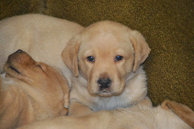 A yellow Lab puppy looks at the camera while another yellow Lab puppy sleeps on his shoulder