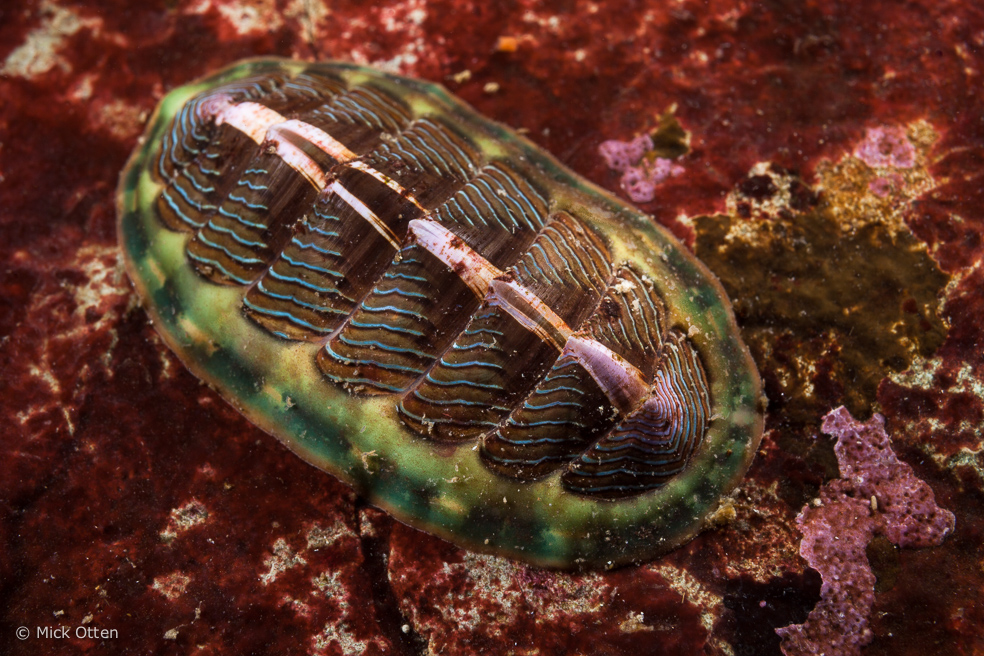 Marine Mollusc photos, Snails, clams, abalone, conch, high ...
