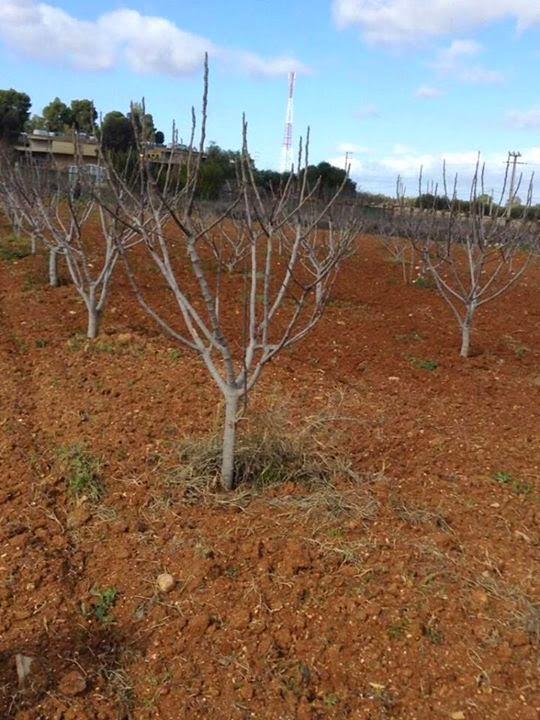 Moroccan figs cultivar