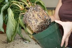 Cum se curata plantele de interior
