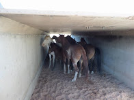 Navajo President deceived national media about horse roundups for slaughter being halted.