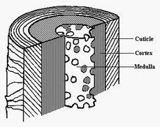 Cuticle Cortex Medulla