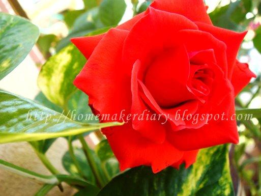 Gambar Bunga Ros