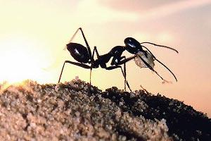 Le saviez-vous?Cataglyphis Supersonicus Bombycinus, la fourmi la plus rapide de la planète Cataglyphis-bombycina-fourmi-du-d%25C3%25A9sert