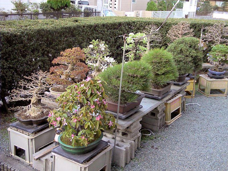 Nostromo bonsai vivero de yorozuen for Viveros baratos