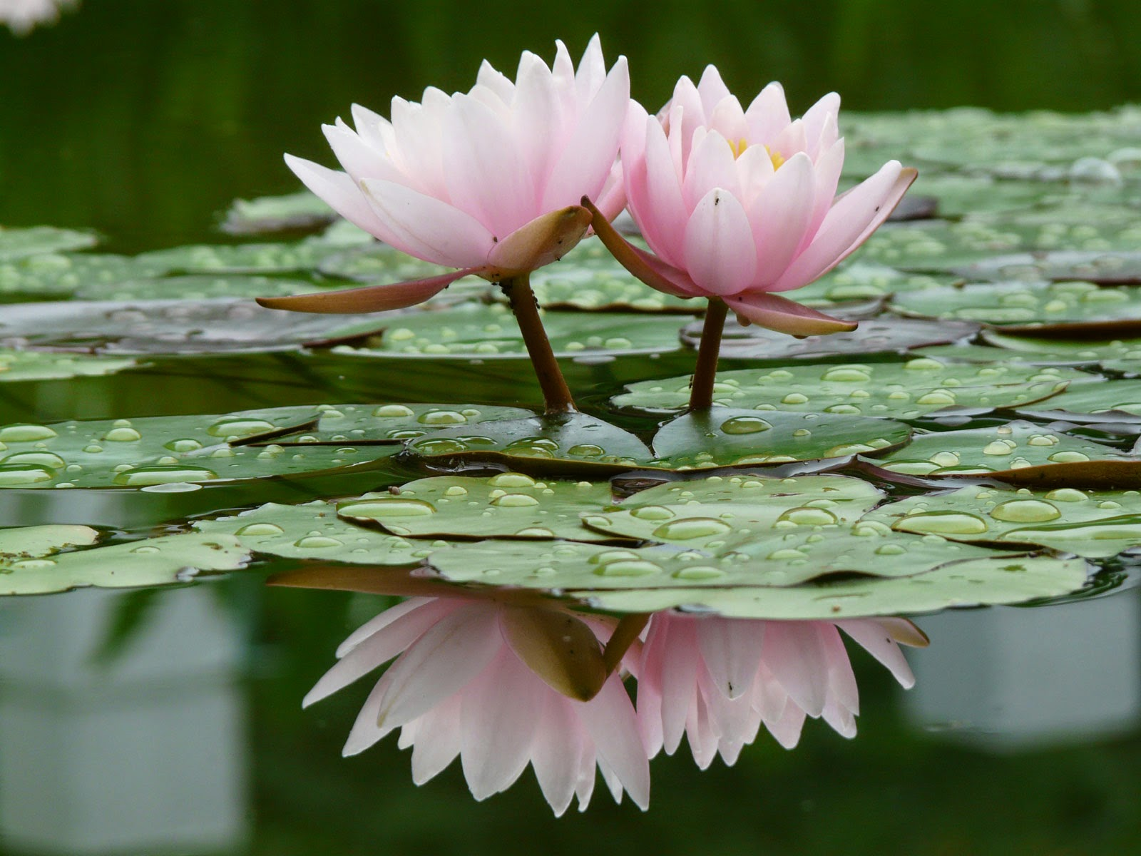 real flowers of lotus images  hd wallpapers, Natural flower