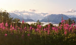 Fireweed Summer