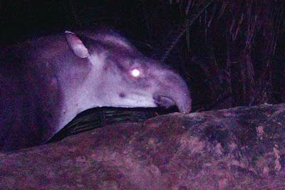 new-tapir-specie-brazil