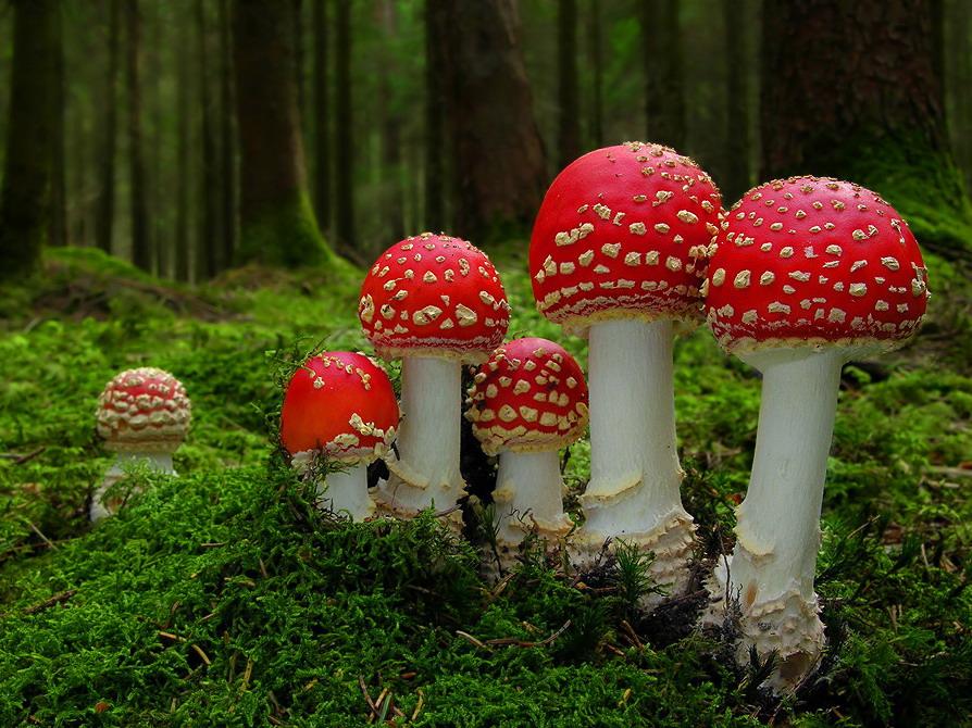 Les eucaryotes et autres mycètes du hippie Mushrooms-amanita-24