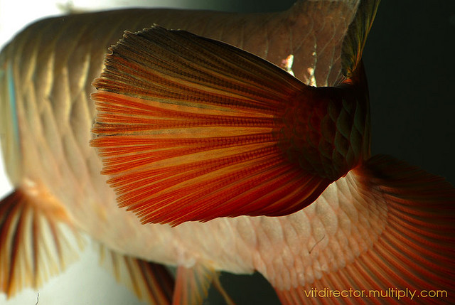 Arowana Care - How to Keep Arowana Fish Healthy
