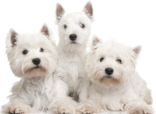 Westies in need UK