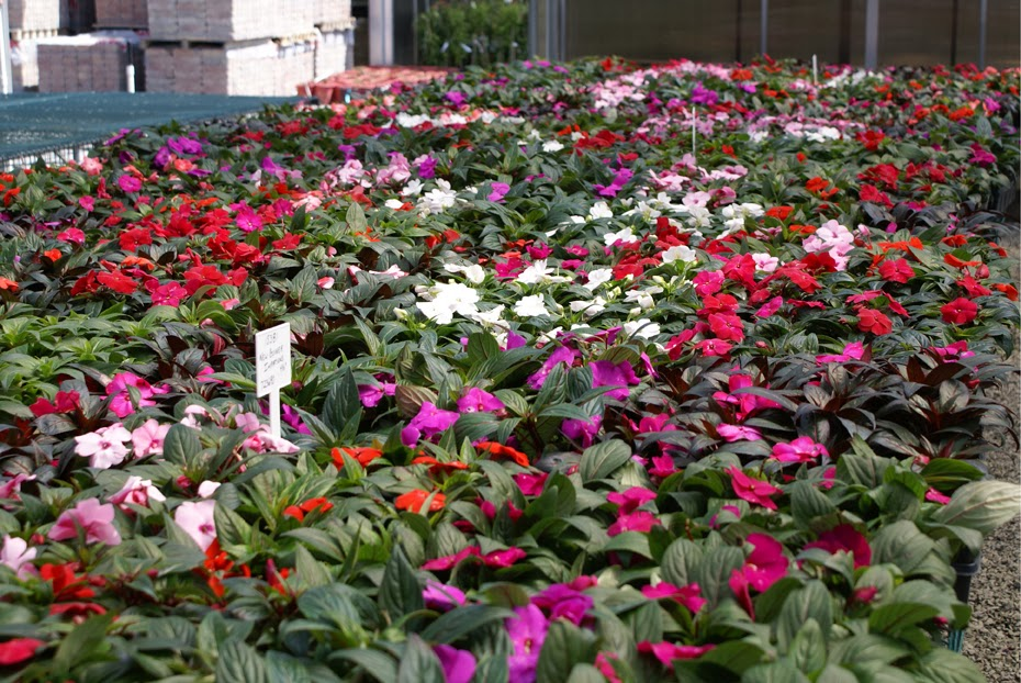 How to grow impatiens from seed the garden of eaden for New guinea impatiens