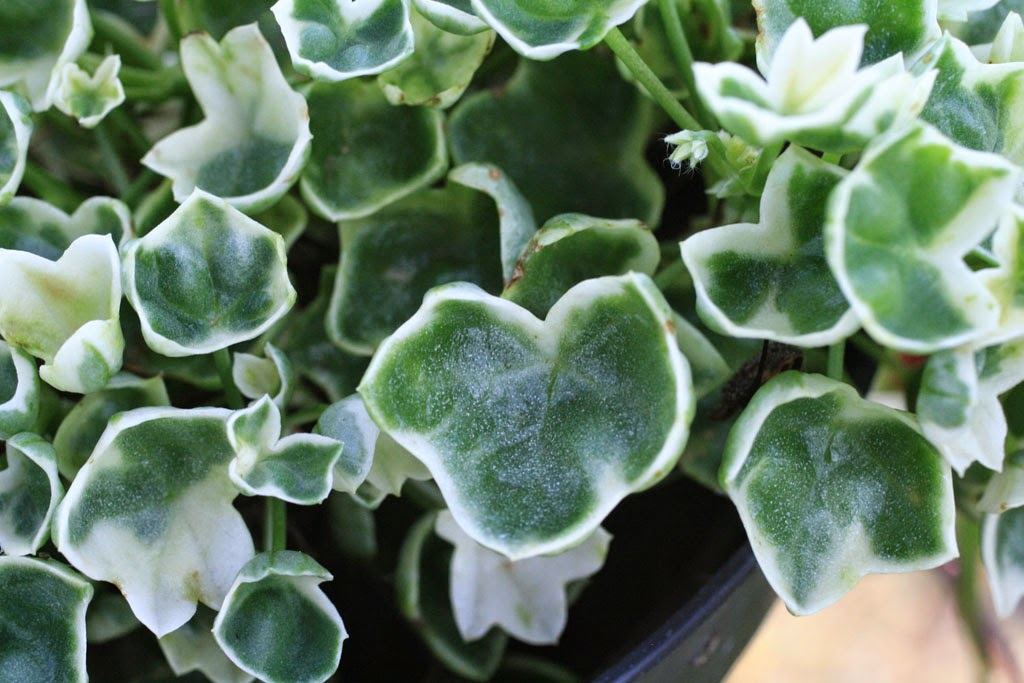 Pelargonium 'Flakey'