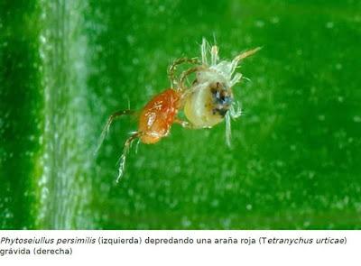 phytoseiulus persimilis acaro araña roja