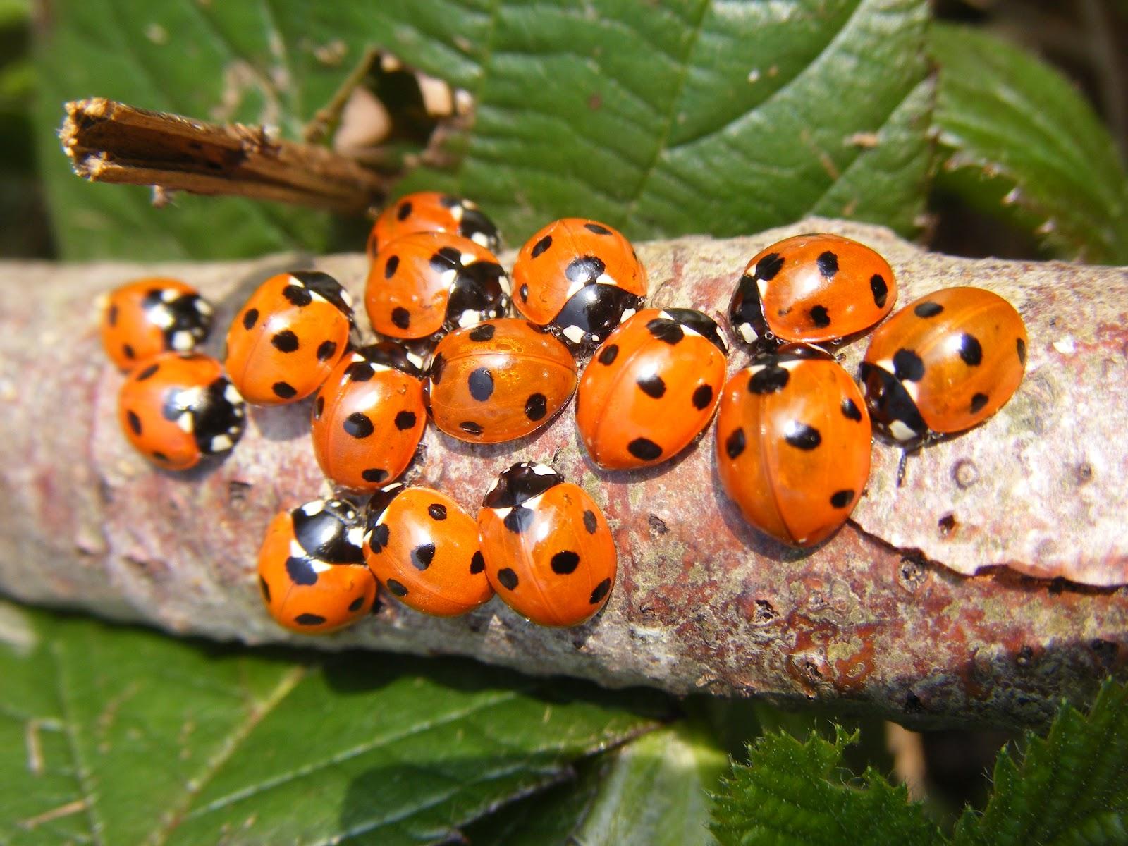 ladybirds - photo #32