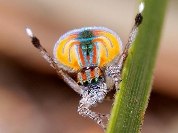 Shots of Australian Peacock Spider