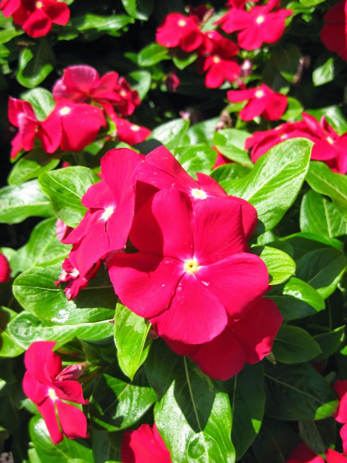 Annual vinca catharanthus roseus rotary botanical gardens the research and testing continues on this beautiful and functional annual vinca also called annual periwinkle and madagascar periwinkle izmirmasajfo Gallery
