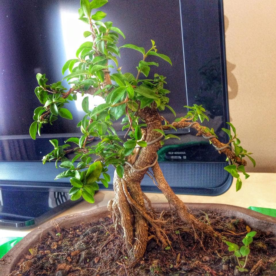 My Healthy Bonsai Tree Vuthy And His Ideologies