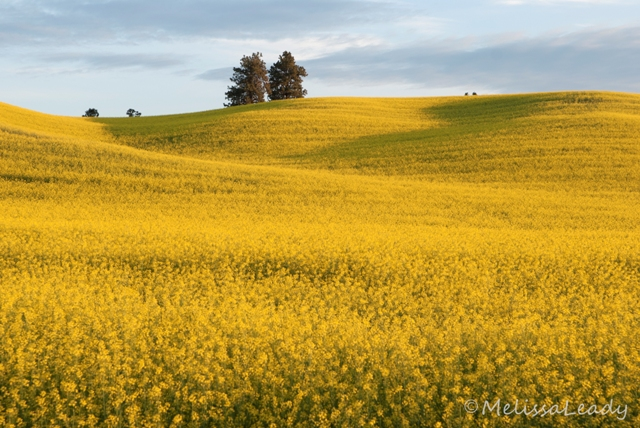 Canola, or Maybe Mustard
