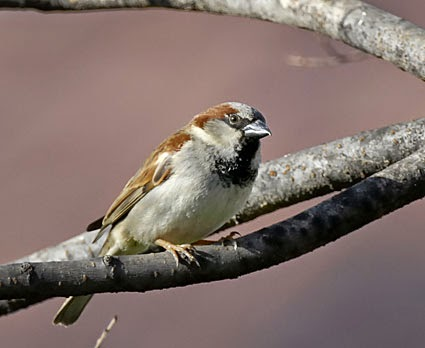 House Sparrow Male Adult Male English House