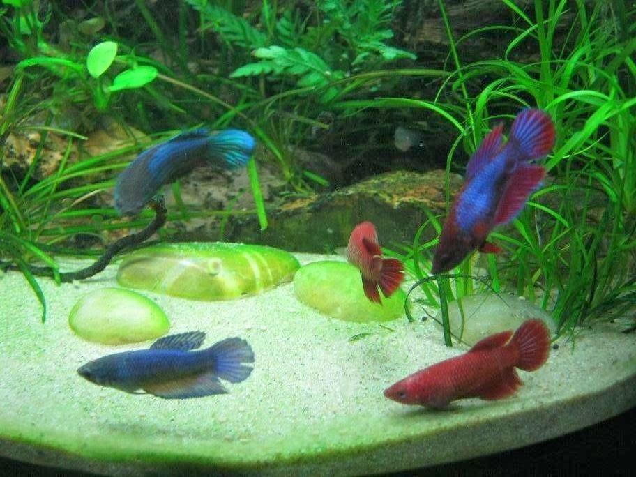 A night by the aquarium female betta for Girl betta fish