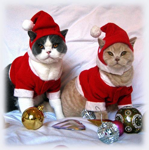Funny Christmas Cats