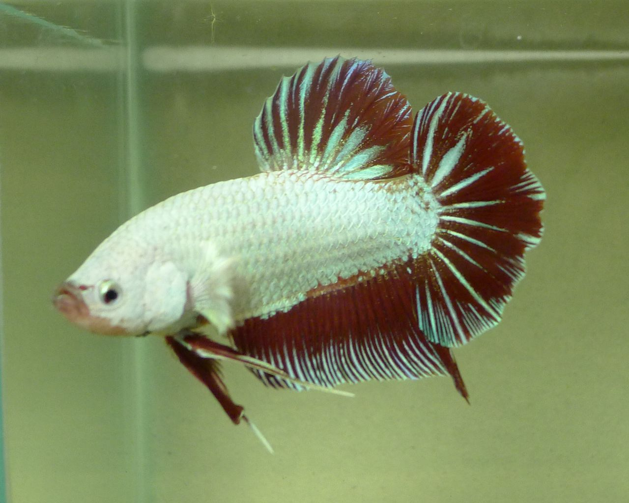 Tropical fish export and import betta giant red and for Biggest betta fish