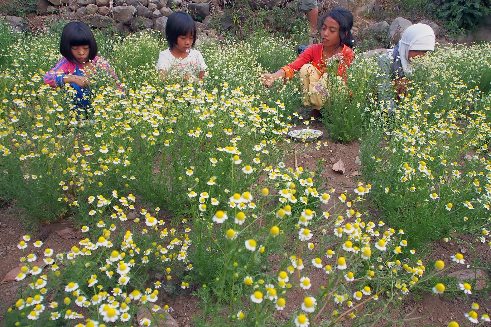 kid harvesting chamomile